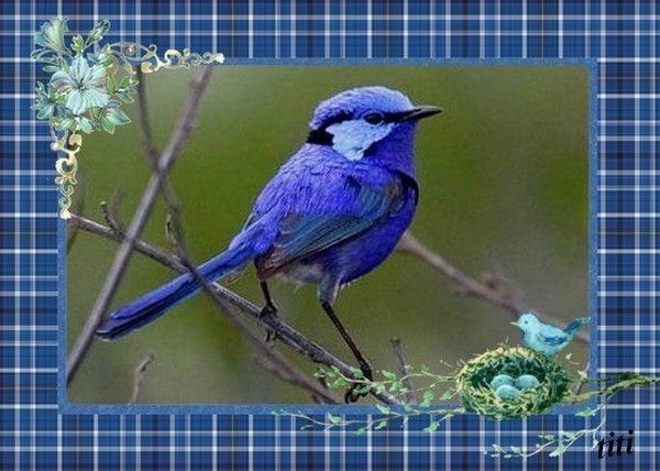 oiseau-bleu-de-chez-titi.jpg